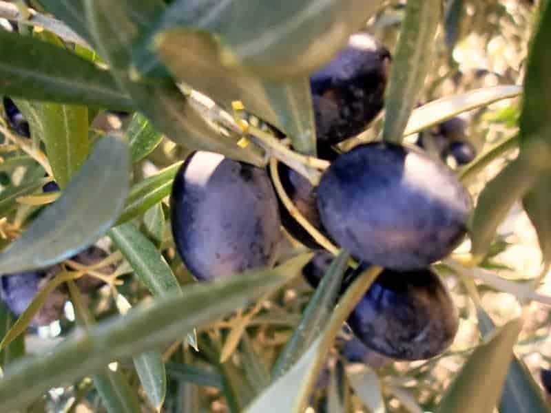 olives-on-the-tree