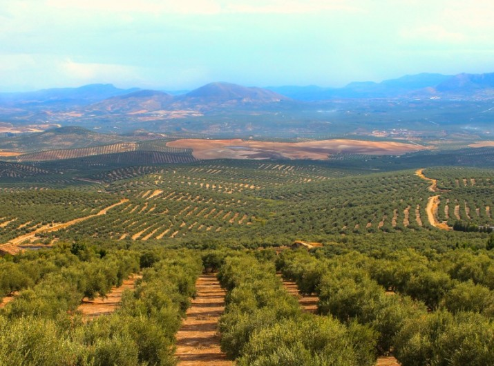 olives-on-the tree-jaen